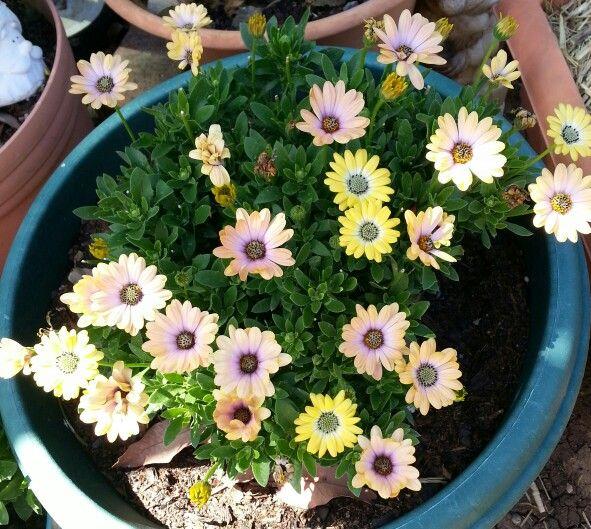 Osteospermum.One plant,flowers go through different colour changes.