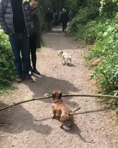 Dachshund loves stick.