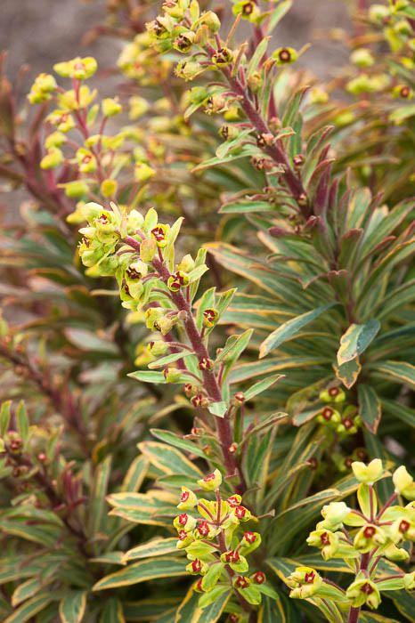 Euphorbia x martini 'Ascot Rainbow'