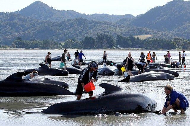 Environ 200 baleines supplémentaires se sont échouées samedi sur des hauts-fonds à Farewell Spit en Nouvelle-Zélande malgré les efforts de centaines de vol