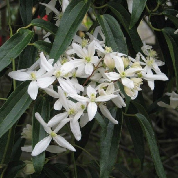 110 best plantes images on pinterest flower gardening gardening clematis armandii snowdrift is a gorgeous evergreen clematis that has attractive dark glossy green leaves and the most wonderfully fragrant small white mightylinksfo