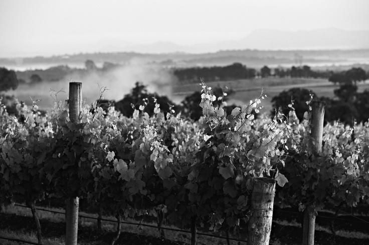 More Scarborough #huntervalley vineyards