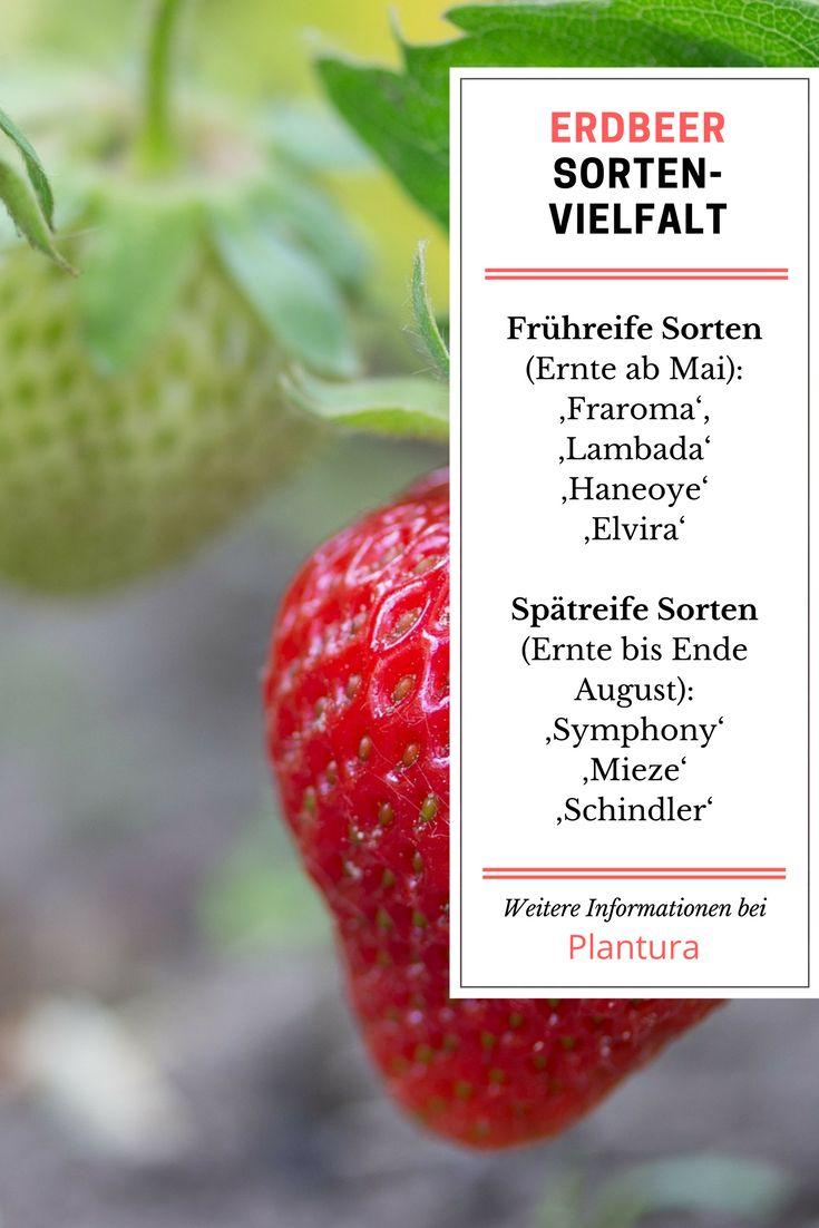 Wann Kann Man Erdbeeren Pflanzen