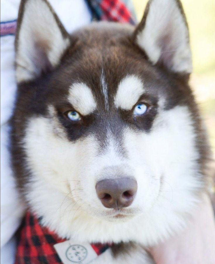Are Huskies Smart? - Here's What Makes Them Intelligent Dogs |Smart Husky Puppy