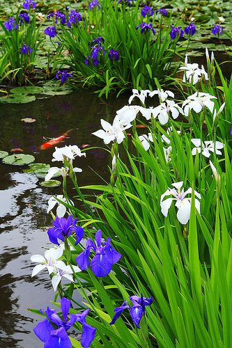 Japanese iris work great here.  And I get cheap feeder fish and let them grow big.  (Though, yes, these are koi I'm sure.) (But goldfish look great, too!)