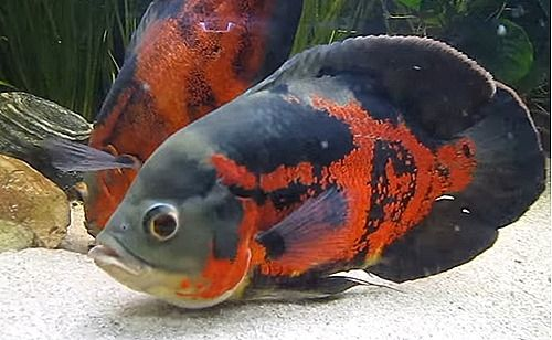 "Great article on tiger-oscar-cichlid ""If you have a larger aquarium and you're looking for an easy-to-care fish that is still very entertaining, consider the Tiger Oscar Cichlid. They are a very hardy fish with amazing coloration and a noticeable personality."" On sale at https://www.aquariumfishsale.com/products/tiger-oscar-medium Quarter Size  $8.99"