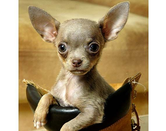 Chihuahua Puppy Dog Art CHIHUAHUA Photo by justamoment on Etsy, $25.00