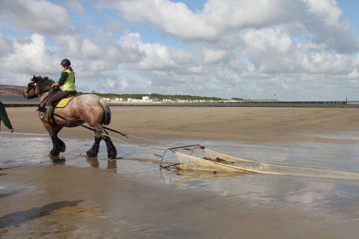 Sleepnet vissen met paarden te Breskens   Zeeland op foto