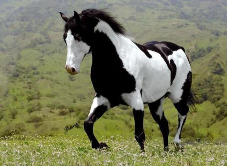 beautiful black and white horse. Reminds me of a cow.
