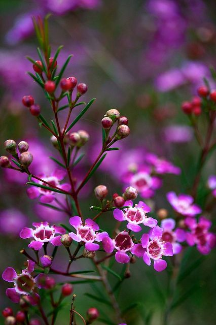 Chamelaucium uncinatum (Myrtaceae). I LOVE this in arrangements, it lasts a long time too.