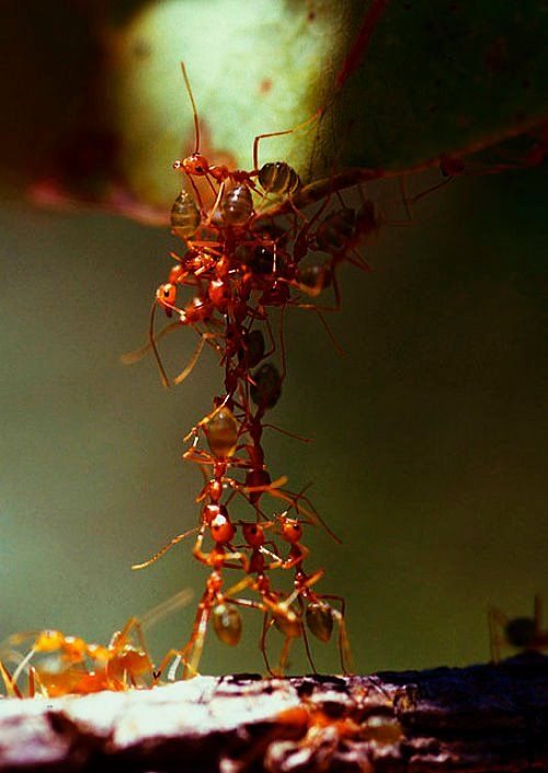 Ants working together. In groups they have the ability to take on liquid properties.