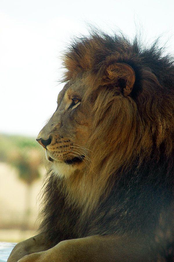 WAP Lions III by *LDFranklin