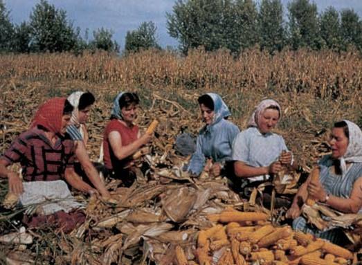 Antica usanza: raccogliere il mais  fotografia Istituto Sperimentale per la Cerealicoltura -Sezione di Bergamo