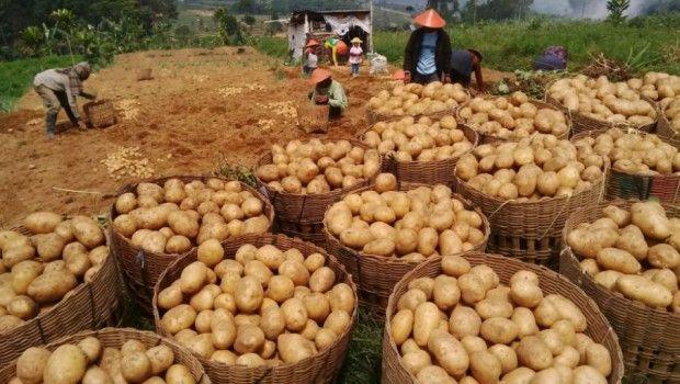 ekspor-kentang-dieng-naik-drastis