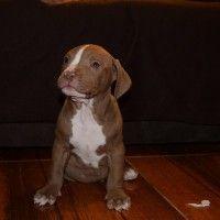#dogalize Pitbull cane cucciolo: stile di vita e come educarlo #dogs #cats #pets