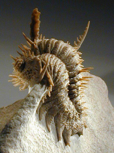 #fossil Russian #Trilobite Hoplolichas Plautini  #Ordovician St. Petersburg region, Wolchow river