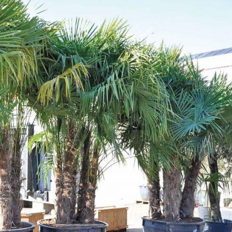 25 best ideas about palmier chamaerops on pinterest for Palmier nain exterieur