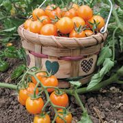 Cherry Tomato Plants - Plant-Sungold Tomato