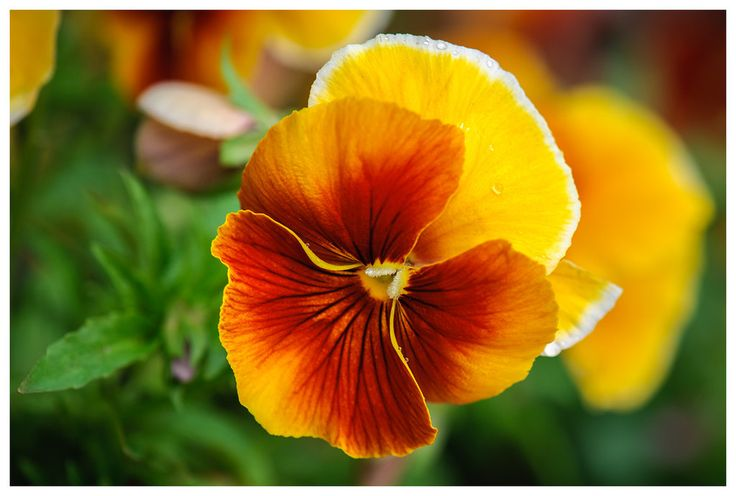 Orange Pansy Flowers - Yahoo Image Search Results