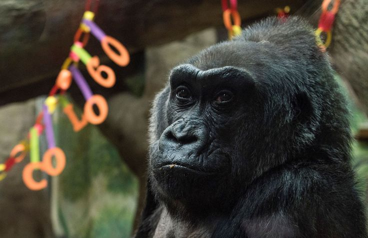 "The world's first gorilla born in a zoo, a female named Colo who became the oldest known living gorilla in the U.S., has died at age 60, the Columbus Zoo and Aquarium said Tuesday.Colo died in her sleep overnight, less than a month after her birthday, the zoo announced. She surpassed the usual life expectancy of captive gorillas by two decades.""Colo touched the hearts of generations of people who..."