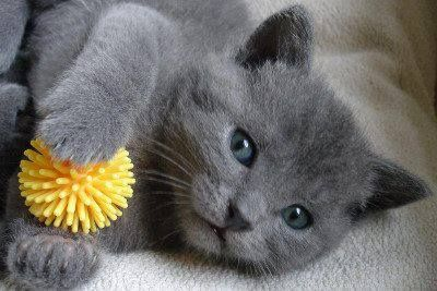 Cute Chartreux kitten