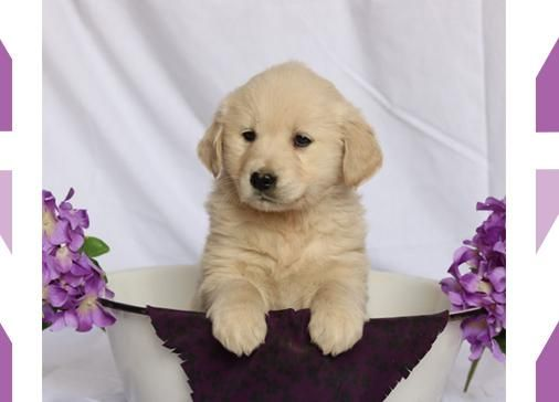 Puppies For Sale Lancaster Puppies Lancaster Puppies Cute