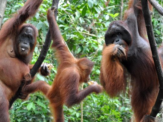 Volunteer with orangutans for 4 weeks, spending 2 weeks working closely with orangutan carers before heading into the rainforest to monitor them in the wild