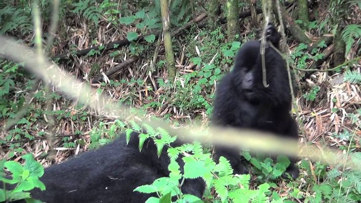 Dr. Oliver Ryder captured extremely rare footage of baby mountain gorillas playing in Rwanda. A cute reminder of the appeal of this endangered species and the importance of protecting them.