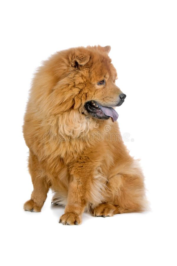 Chow Chow Dog Sitting And Looking Away Isolated On A White
