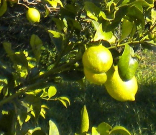 Il limone è un ibrido, risultato dell'incrocio tra il cedro e il pomelo,  coltivato in Cina, nella regione indiana dell'Assam