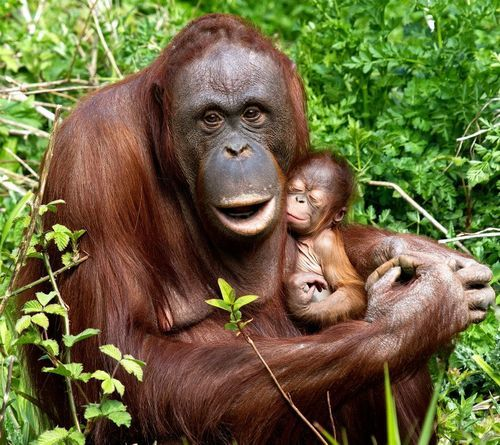 Given the declining populations, measures such as switching to alternative oil products and maintaining sustainable populations of Orangutans in zoos are becoming ever more important. Everyone can help by reading labels at the grocery store to determine what products are made without palm oil.