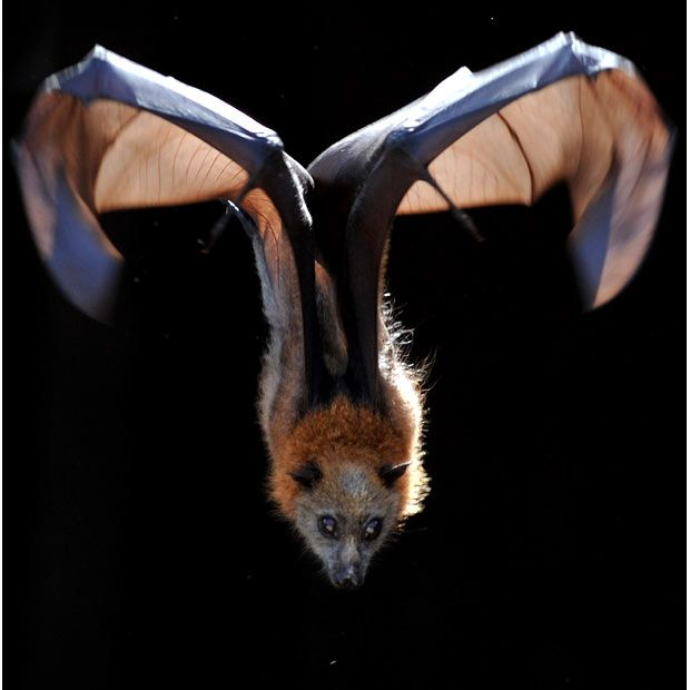 Two young fruit bats are being used in classrooms in Australian schools to educate pupils on the subject of endangered animals. Middy and Mooney are a pair of grey-headed flying foxes, or megabats, kept by the Full Flight Conservation Centre in Flemington, Sydney.