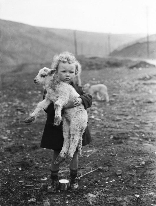 """A young Welsh boy has adopted one of the new arrivals on a farm at Rhondda during the lambing season, 7th March 1936"""