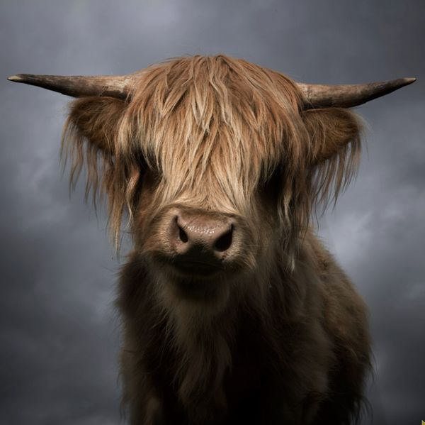 I passed a heard of these in a field on a long walk from my hoose with the babe this morning. wonderful highland cattle