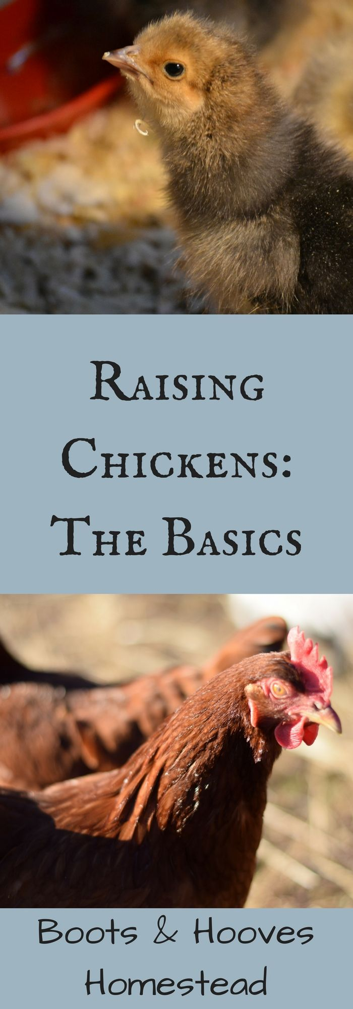 Raising Chickens: The Basics - Boots & Hooves Homestead