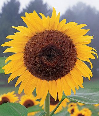 """Sunflower, Kong Hybrid  Fast-growing giant.  The most stunning of our giant sunflowers, with sturdy stems and lush leaves. It forms a massive wall of foliage topped off with extra large, perfectly round 10"""" golden flowers. Rapid growth from seed to maturity by mid-summer."""
