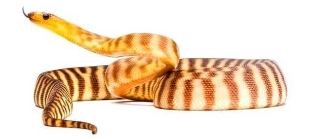 The woma python is also known as sand python or Ramsay's python is critically endangered non-venomous python found in Australia.