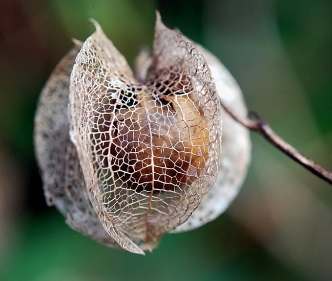 seed pods | Gooseberry seed pod. A clay bead cocooned in a spider's web of ...