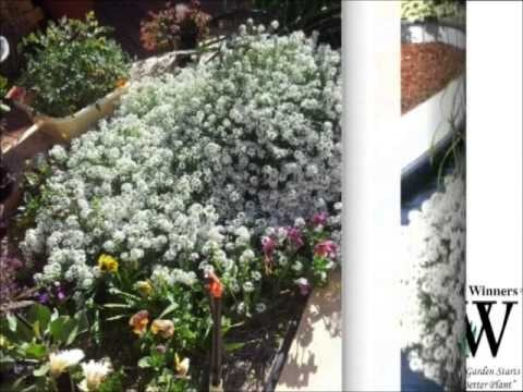 Aussie Winners presents 'Snow Princess'- a heat and frost tolerant Lobularia with extended season performance.  Blooms for a long time and suitable for hanging baskets or in the garden.  www.aussiewinners.com.au