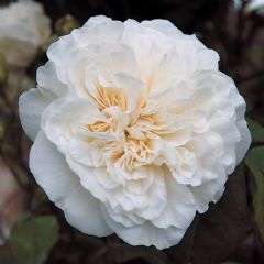Sombreuil' rose - A charming climber. The flowers have many petals arranged in the form of flat, quartered rosettes. They are creamy white, sometimes with a hint of pink at the centre, and have a delicious tea scent. In quality and refinement they compare with the very best Old Roses, although 'Sombreuil' is a hardy rose that repeat flowers well