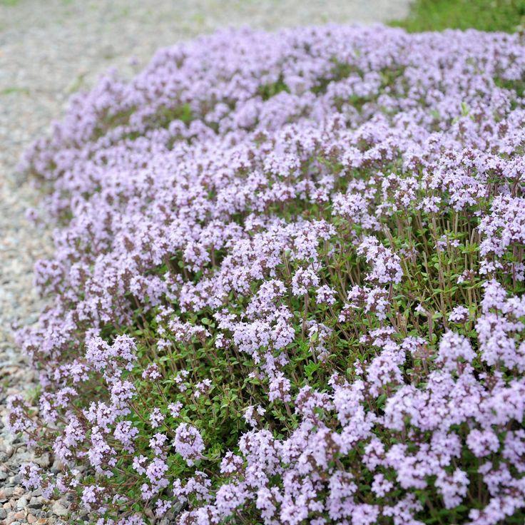 Kryddtimjan Traditionell örtkrydda. Vintergrön halvbuske med purpurrosa blommor och aromatiskt bladver...