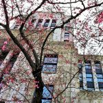 Early Cherry Blossom Buds Frame Vancouver City Hall