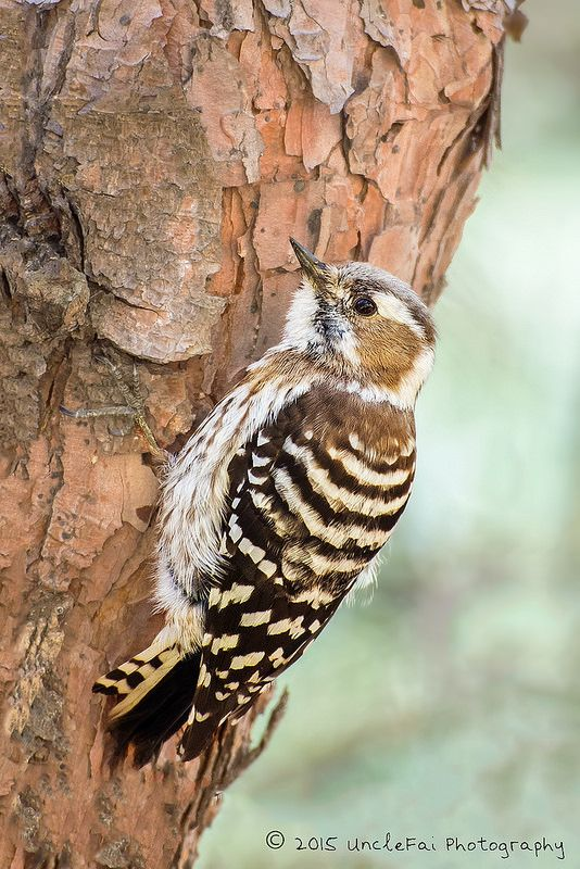 Japanese Pygmy Woodpecker (Picoides kizuki)  -  Flickr - Photo Sharing!