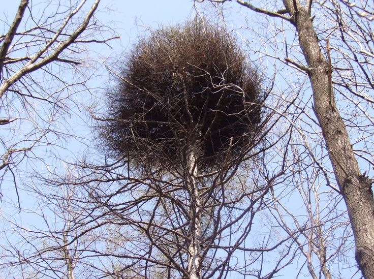 """Le""""scope delle streghe""""(witch's broom o Donnerbush)Possiamo trovare questo accumulo di ramoscelli su alberi come betulla, quercia, olmo, frassino, faggio, ontano, pino, larice e abete. Poi anche su cespugli di ginepro, rosa o sull'agrifoglio.Nel nord Europa si diceva fossero le scope dimenticate dalle streghe dopo il sabba."""