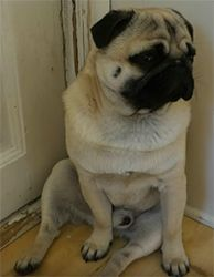 Pug as a Small Breed Characteristic and Care