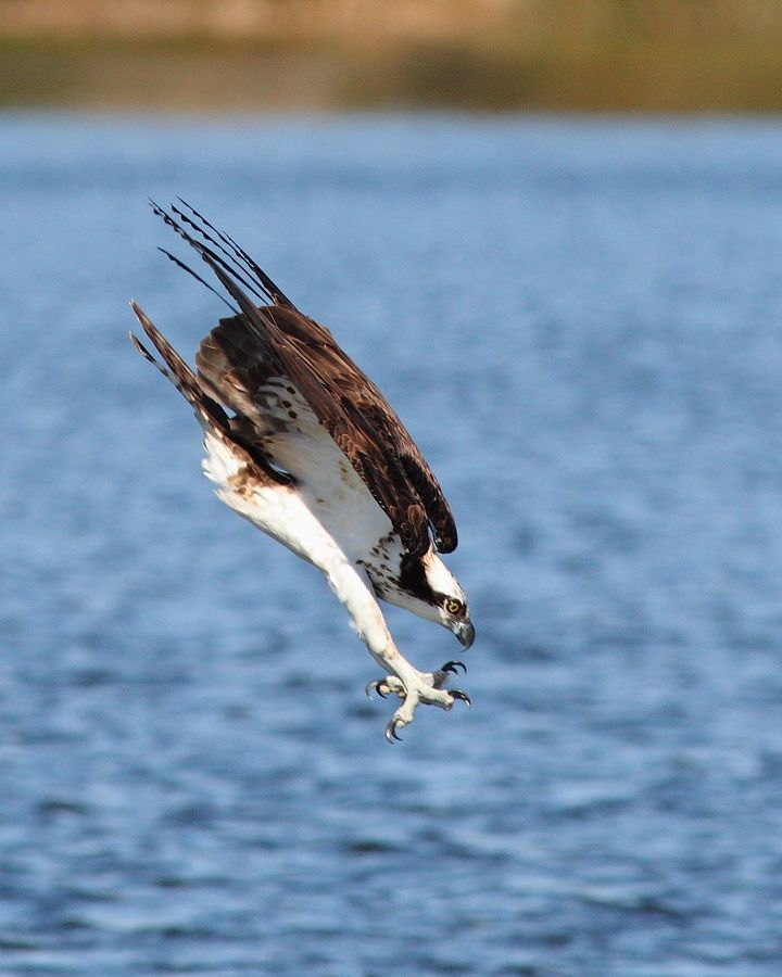 The Osprey (Pandion haliaetus), sometimes known as the sea hawk, fish eagle or fish hawk, is a diurnal, fish-eating bird of prey. It is a large raptor, reaching more than 60 cm (24 in) in length and 180 cm (71 in) across the wings.
