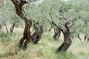 Spacer po włoskim gaju oliwnym