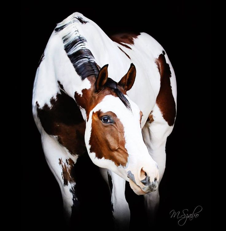 stunning bay paint horse