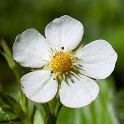 Danmarks Flora: Danmarks Vilde Blomster