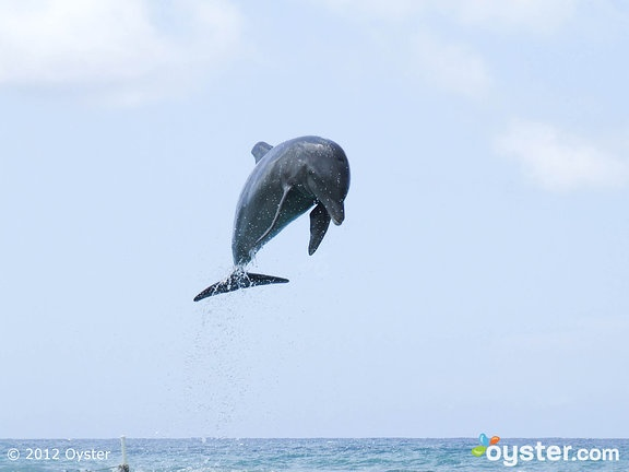 Dolphins at the Half Moon; Montego Bay, Jamaica